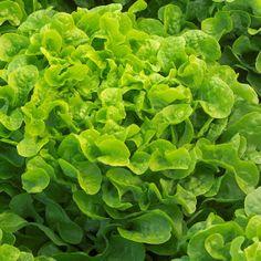 Vijver en Tuincentrum Pelckmans: Lactuca sativa var. foliosa (eikenbladsla groen) PLANTAFSTAND  25 cm x 30 cm  TEELTTIPS  Het zaaien van eikenbladsla kan in de koude kas van maart tot juni. Salades hebben licht nodig bij de kieming. Het is beter om de zaden af te dekken met zand in plaats van met zwarte aarde. De zaden van eikenbladsla kiemen bij 20°C binnen een week. Vanaf half april tot begin september kan eikenbladslabuiten worden geplant.