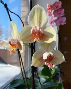 Помните желтого мутантика? Он немного подвыцвел, но решил дорастить еще бутончики😻💛🌼 ⠀ Остальные фото смотрите тут ➡️… Orchids, Flowers, Plants, Instagram, Plant, Royal Icing Flowers, Flower, Florals, Floral