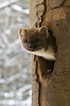 These little Pine Martins are too cute! <3