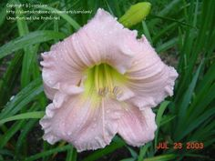 Barbara Mitchell Daylily - hardy, easy to grow, gorgeous - an all-time favorite.