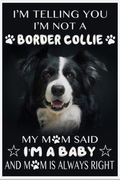 Ha Ha Just like our baby! Border Collie Art, Border Collie Puppies, Collie Mix, I Love Dogs, Puppy Love, Cute Dogs, Dogs And Puppies, Doggies, English Mastiff