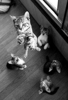 Gato saltarin. Autor desconocido.