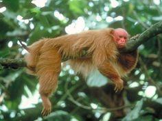 uakari  baby  monkey