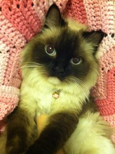 Chanel the Ragdoll Cat. Too cute!