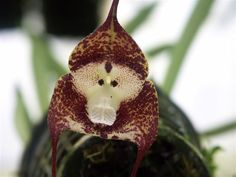 Monkey orchids: Dracula simia