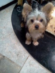 Jameson is an adoptable Yorkshire Terrier Yorkie Dog in Oceanside, NY. Sweet Jameson is brothers with Bronson. He is smaller than his bro and a more timid little boy. Jamesonis4 months old. I canno...