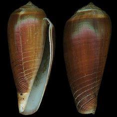 Phasmoconus radiatus  Gmelin, J.F., 1791 Rayed/Radiant Cone Shell size 30 - 109 mm Philippines - New Guinea - Fiji