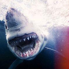 shark close up - Pesquisa Google