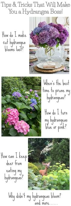 Sooo many awesome tips for growing hydrangeas! When to prune and how much to prune them, how to change their color, how to make cut hydrangea blooms last, and more! Also explains why your hydrangea plants might not bloom!