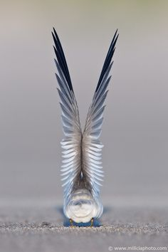 Sea gulls actually have beautiful plumes of white feathers on their breast. I love to use them on my dream catchers.