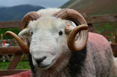 A beautiful smiling Herdy tup from Chris Drake.