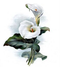 Vintage Botanical Graphic - Cala Lily - The Graphics Fairy