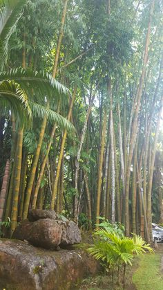 Bamboo forest Mauritius