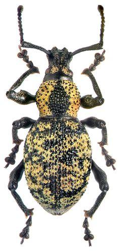Beetle, Otiorhynchus aurosquamulatu, M.E. Smirnov
