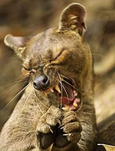 Buy or license direct from the photographer this stunning image of   Fossa  Yawning , Cryptoprocta Ferox , Kirindy Forest , Madagascar cccecc97267