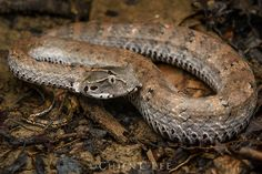 Smooth-scaled Death Adder (Acanthophis laevis) photographed by Chien C Lee in New Guinea