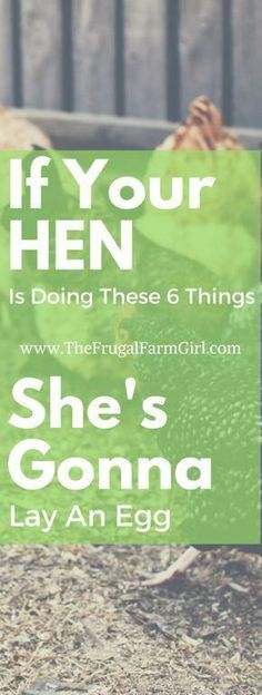 First time with chickens? When will they lay eggs? There are certain clues you can look for to indicate when your hens will start laying eggs. via @frugalfarmgrl #raisingchickensforeggs