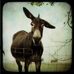 """donkeys"" curated by inthegan. Photo by AmberJMcKinney via Flickr"