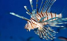 Afbeeldingsresultaat voor lionfish bonaire