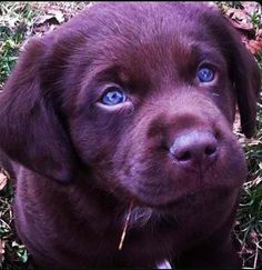Chocolate lab puppy