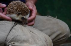 Julian, our zookeeper, gently holds our pygmy hedgehog.