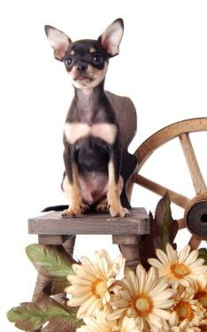 Russkiy Toy Funny Animal Pictures, Funny Animals, Russian Toy Terrier, Mini Pinscher, Miniature Donkey, Donkeys, Dog Toys, I Love Dogs, Dolphins