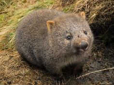 Every evening a wombat deposits 80 to 100 cube-shapped droppings around its territory marking it. Because of the strange cube shape the droppings do not roll away. http://ift.tt/2fQtGNS