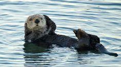 In search of the California sea otter