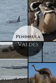 Orcas beaching themselves in the hunt for seals. Plus all of this other wildlife at Peninsula Valdes in Argentina should make it reason to add to your travel plans.