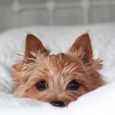 Norwich Terrier - Saw one in the street today and was blown away by his cuteness. Pet Dogs, Dogs And Puppies, Dog Cat, Chihuahua Dogs, Bull Terrier Dog, Terrier Mix, Cairn Terriers, Norwich Terrier Puppy, White Terrier