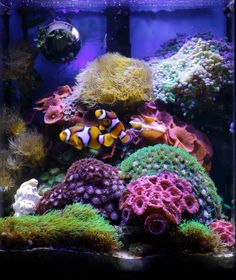 Aquariums make a lovely addition to any home, and the exotic nature of a saltwater aquarium and the tropical fish who inhabit it have caused these household Saltwater Aquarium Beginner, Saltwater Aquarium Setup, Coral Reef Aquarium, Saltwater Fish Tanks, Aquarium Fish Tank, Planted Aquarium, Coral Reefs, Marine Tank, Marine Fish