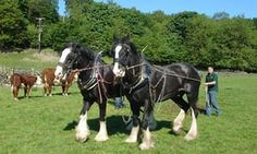 Working horses at Old Hall Farm, Bouth.