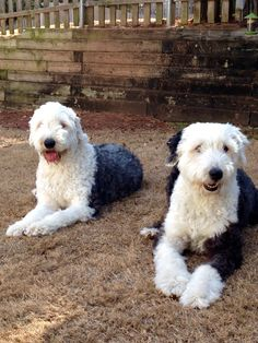 Old English Sheepdogs Tucker (left) & Murphy winding down after a Happy Christmas!