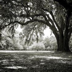 'Live Oak' Tree and Spanish Moss