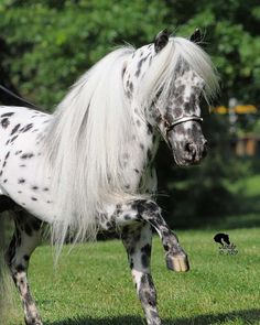 Appaloosa pony.  Sometimes spots before your eyes are a good thing.