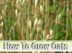 How To Grow Oats - in your garden. It,s pretty easy... #gardening #homesteading