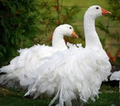 Sebastopol Geese have been called the 'pantomime goose' because of their fancy feathers. They have a curled feather mutation which gives the birds a fluffy appearance. Pretty Birds, Beautiful Birds, Animals Beautiful, All Birds, Love Birds, Sebastopol Geese, Farm Animals, Cute Animals, Animal Fun