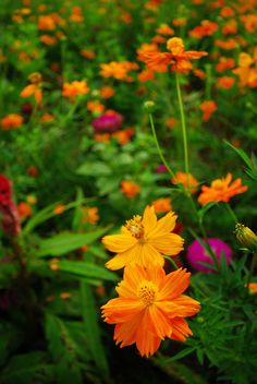 Cosmos Dwarf Polydor Ground Cover - Smokin Hot Chicks by Live Mulch #cosmos #groundcover