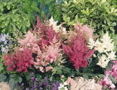 Astilbe Varieties | Astilbe arendsii, Astary® Mix, Perennial | Benary