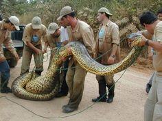 Cobras no Brasil                                                                                                                                                      Mais