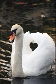 Swan with heart. Swan Love, Beautiful Swan, Beautiful Birds, Animals Beautiful, Nature Animals, Animals And Pets, Cute Animals, Pretty Birds, Love Birds