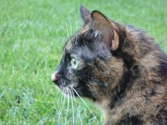 One of my favorite pictures of Haylee. She is my tortieshell cat.