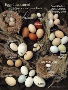 Eggs Illustrated Postcard Oversized Photo egg identification guide Natural History Education T Best Egg Laying Chickens, Keeping Chickens, Raising Chickens, Raising Ducks, Raising Quail, Chicken Facts, Nester, Bird Identification, Small Chicken