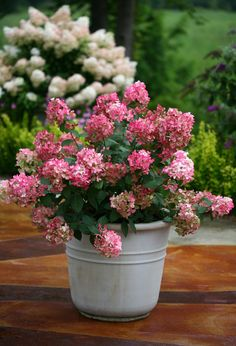 Fire Light is an easy to grow hydrangea that delights with blooms which emerge creamy-white and age to a vivid red for lots of summer color. Red Plants, Large Plants, Tropical Plants, Container Plants, Container Gardening, Hydrangea Paniculata, Sun Loving Plants, Perfect Plants, Landscaping Plants