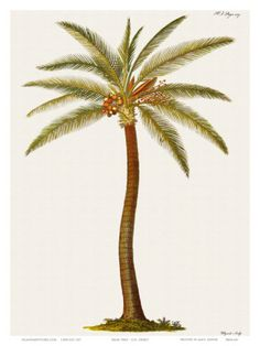 Coconut Palm Tree, 18th Century Art Print