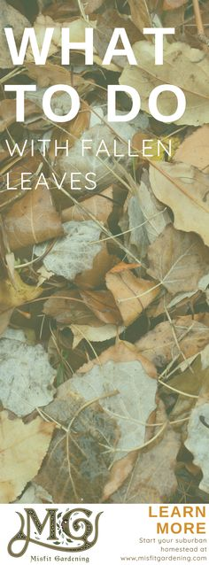 What to do with fallen leaves. Do you ask what to do with fallen leaves each year? Find out 7 ways to use fallen leaves in your garden or homestead. Organic Supplies, Organic Gardening Tips, Gardening Hacks, Homestead Gardens, Backyard Farming, Fall Is Here, Deciduous Trees, Growing Herbs, Misfits