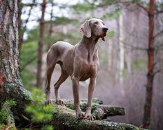 Grande e elegante, o cão de raça Weimaraner é extremamente fiel, inteligente e dedicado aos seus donos. Saiba mais sobre este amigo de 4 patas!