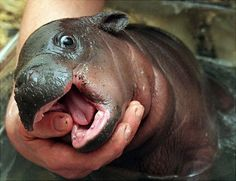 Baby Hippo gnawing on a thumb. Your argument is invalid.