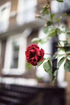 red velvet rose | emily faulstich
