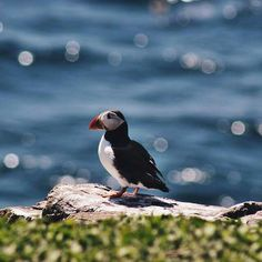 Puffin at Bempton Cliffs Yorkshire